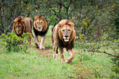Three male lions, Panthera leo,walk together in green grass, direct gaze