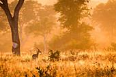 Ein von hinten beleuchteter männlicher Impala, Aepyceros melampus, steht im hohen sonnenbeschienen Gras