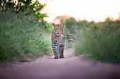 A leopard, Panthera pardus, walks towards the camera on sand road, durect gaze, ears facing backward, mouth open, long green grass