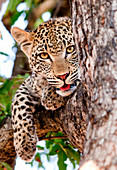 A leopard cub's head, Panthera pardus, lies in a tree, alert, mouth open showing tongue, paw drapes over branch, yellow brown eyes