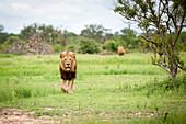 A male lion, Panthera leo, walks towards camera in short green grass, alert, mouth open
