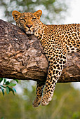 A leopard, Panthera pardus, lies on the branch of a tree, legs tangling over the branch, alert, ears forward, head resting on branch