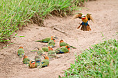A flock of white-fronted bee-eaters, Merops bullockoides, lie on sand while one flies down, wings up and tail spread