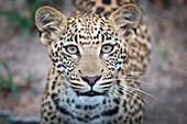 The head of a leopard cub, Panthera pardus, alert, yellow-green eyes, blurred background, spotted coat