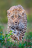 A leopard, Panthera pardus, alert, walks towards the camera  in stalking posture, with large green yellow eyes