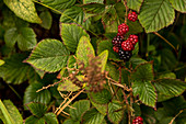 A shrub with blackberries, Inverpolly Nature Reserve, Highlands, Scotland, UK