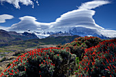 Red flowers of a Yareta above El Chalten, clouds at Fitz Roy in the background, El Chalten, Patagonia, Argentina