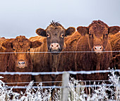 Cows behind fence in winter