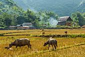 Water buffalo grazing on rice paddy in Mai Chau, Vietnam