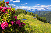 Flowering of rhododendrons with a hut and a pond in the background. Valgerola, Orobie Alps, Valtellina, Lombardy, Italy, Europe