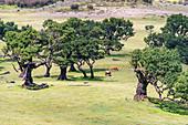 Cows grazing under Laurel trees in the Laurisilva Forest, UNESCO World Heritage Site. Fanal, Porto Moniz municipality, Madeira region, Portugal.
