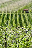 Rows of flowering apple orchards, Villa di Tirano, province of Sondrio, Valtellina, Lombardy, Italy