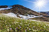 Sunburst on fields of Crocus flowers in bloom, Andossi, Madesimo, Chiavenna Valley, Sondrio, Valtellina, Lombardy, Italy