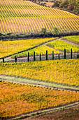 Weinberge im Herbst nahe Gaiole in der Region Chianti, Toskana, Italien