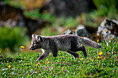Hunting arctic fox on the West Fjords. Hornstrandir, Iceland
