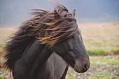 Icelandic horse. Iceland