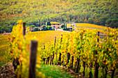 Weinberge während des Herbstes nahe Gaiole im Chianti, Florenz-Provinz, Toskana, Italien