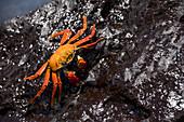 Island Floreana, Galapagos, Ecuador. Sally Lightfoot crab on the rock