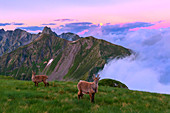 Young mountain goats in the grass with clouds in the background at sunset. Valgerola, Orobie Alps, Valtellina, Lombardy, Italy, Europe