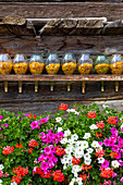 Fresh flowers and bottle of dried arnica flowers exposed on a wood background. Livigno, Valtellina, Lombardy, Italy, Europe.