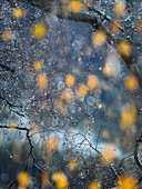 an abstract view of some yellow leaves during a light raining day, Villn?ssertal, Bolzano province, South Tyrol, Trentino Alto Adige, Italy
