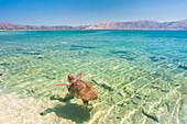 A specimen of Caretta Caretta turtle in the crystal water near Elafonissos coasts, Elafonissos, Laconia region, Peloponnese, Greece, Europe
