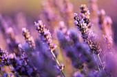Detail der Lavendelblume, Valensole-Hochebene, Provence, Südfrankreich, Frankreich, Europa