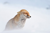 Fox in the strong wind, Valle dell Orco, Gran Paradiso National Park, Piedmont, Italian alps, Italy
