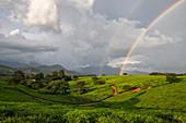 Afrika, Malawi, Distrikt Blantyre, Anbau von Tee