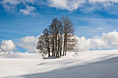 Snow-covered beech (Fagus) in winter, near Hinterzarten, Black Forest, Baden-Wurttemberg, Germany