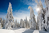 Snow-covered spruce trees (Picea) and cross-country trail in winter, Feldberg, Todtnauberg, Black Forest, Baden-Wuerttemberg, Germany