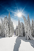 Snow-covered spruce trees (Picea) in winter, Feldberg, Todtnauberg, Black Forest, Baden-Wuerttemberg, Germany