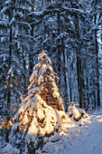 Snow-covered winter forest near Bad Bayersoien, Upper Bavaria, Bavaria, Germany