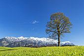 Linde in Eschenlohe in front of the snow-capped mountains of the Estergebirge, Upper Bavaria, Bavaria