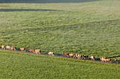 Kühe auf einem Weg bei Großweil, Oberbayern, Bayern,  Deutschland