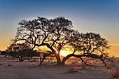 Kameldornakazien im Abendlicht, Tirasberge am Rande der Wüste Namib, Namibia