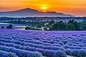 Lavender field near Sault, Mount Ventoux, France