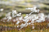 Cottongrass weighs in the wind, swiss alps