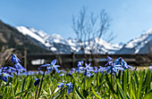 Spring awakening with the first early bloomers of the Alps and mountain flowers, Stillachtal near Oberstdorf in Oberallgäu