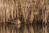 Biber zwischen Schilf am Ufer beim Frühstück in Form von frischen Zweigen, Spreewald, Brandenburg
