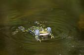 Male pond frog in the UNESCO Biosphere Reserve Spreewald in Brandenburg, Germany