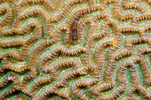Gestreifter Dreiflosser, Helcogramma striata, Tufi, Salomonensee, Papua Neuguinea