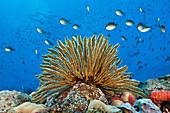 Haarstern am Riff, Comaster schlegeli, Tufi, Salomonensee, Papua Neuguinea