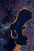 Juveniler Spitzmaul-Fledermausfisch, Platax pinnatus, Tufi, Salomonensee, Papua Neuguinea