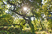The sun shines through a tree in the Parque da Pena Sintra, Lisbon, Portugal