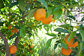 Oranges at the tree in a garden at Monchique, Serra de Monchique, Algarve, Portugal