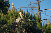 Storks sit in pines south of Monchique, Algarve, Portugal