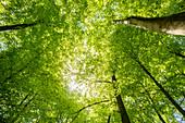Buchen im Silberbachtal, Teutoburg Forest, North Rhine-Westphalia, Germany