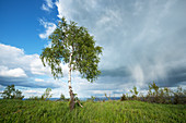 Birch in front of rain cloud, Prussian Velmerstot, North Rhine-Westphalia, Germany