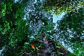 Riesiger Baum im Regenwald Manzanillo, Gandoca National Park, Costa Rica